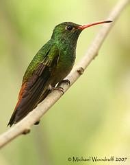 Rufous-tailed Hummingbird (Michael Woodruff) Tags: bird southamerica birds ecuador hummingbird birding sa rufoustailedhummingbird amaziliatzacatl amazilia tandayapa tandayapavalley rufoustailed nwecuador tandayapabirdlodge