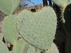 heart-shaped cactus section - by Martin LaBar
