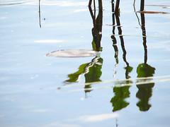 Lake plantlife (hemmob) Tags: summer finland cottage mökki kesä lumpeet