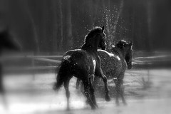 Singing in the Rain (Saparevo) Tags: horses holland beautiful beauty animals moving top20horsepix bestofflickr loh naturesfinest wonderworld blueribbonwinner greatphotographers bwdreams amazingtalent kwpn outstandingshots 35faves golddragon fivestarsgallery abigfave perfectangle photology worldbest anawesomeshot impressedbeauty superaplus aplusphoto onlyyourbestshots wowiekazowie ysplix amazingamateur excellentphotographerawards orionfortuna volaree flickrslegend bachspicsgallery amazingexcellence 100commentgroup winnerbc