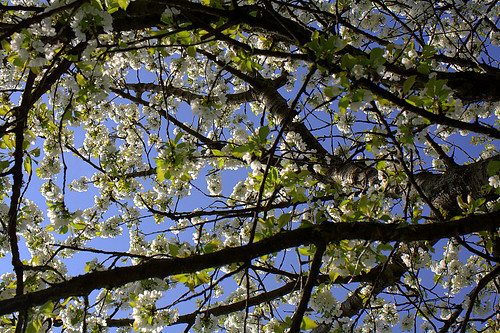 Siesta under the cherry tree