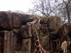 Giraffe, Philadelphia Zoo