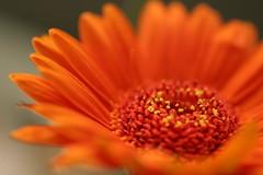 Orange Gebera