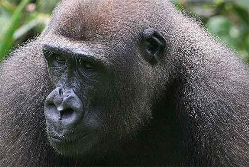 gorilas amenazados foto el mundo 1