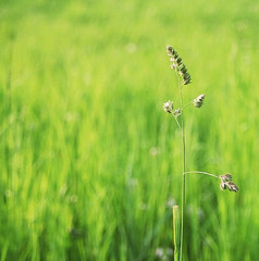Green Day (It's Stefan) Tags: naturaleza green primavera nature grass interestingness spring bokeh  sunny explore gras minimalism minimalistic mota hierba   naturesfinest  explored stefanhoechst stefanhchst