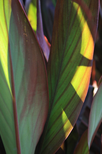 Canna - What kind is it?  part II
