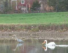 Heron, Pelican, Horse