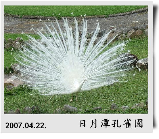 2007_0422Peacock_9