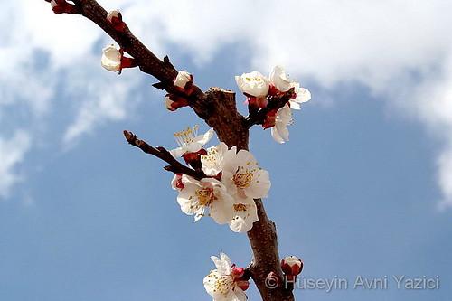 Çiçek Açmış Dal, Gümüşler, Niğde by HAYAZICI.