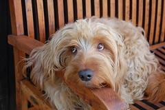dog cute animal basset fauvedebretagne