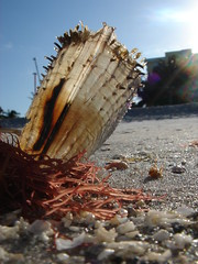 semi-transparent (Opal in the rough) Tags: sun seaweed beach wet dedication sand ray florida anniversary shell 90th beam naples annualmeeting