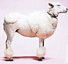 Poodle ? Sheep ?