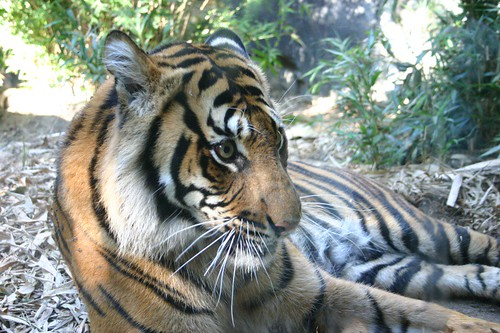 Small species of Tiger