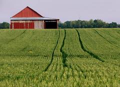 Healthy Hoosier Wheat - by cindy47452