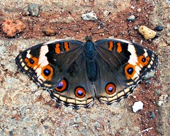 Butterfly (Mangiwau) Tags: blue orange brown macro nature butterfly insect java insects creepy spotted jawa breathtaking insectes sunda insecta serangga tangerang crawlies bintaro wowiekazowie
