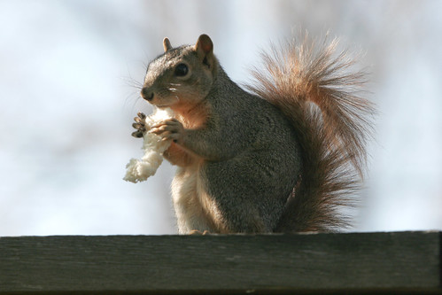 Another Squirrel Shot by MicheKerr.
