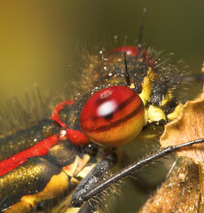 """Large Red Damselfly (pyrrhosoma nymp(19) • <a style=""""font-size:0.8em;"""" href=""""http://www.flickr.com/photos/57024565@N00/489962690/"""" target=""""_blank"""">View on Flickr</a>"""