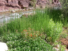 Grand Canyon -  wildflowers beside Tapeats Creek (Al_HikesAZ) Tags: park flowers camping wild arizona flower water creek landscape ilovenature hiking grandcanyon grand canyon hike national backpacking backpack backcountry hikes inthecanyon grandcanyonnationalpark coloradoplateau gcnp awesomenature thunderriver outdoorbeauty tapeats alhikesaz belowtherim