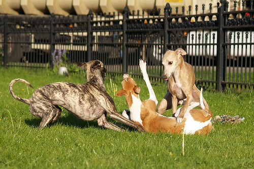 Whippets, Nisha, Coco and Tiger