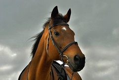 big birthday portrait (Dan65) Tags: birthday sky horse cloud weather caballo cheval 1 bay cloudy geburtstag explore 20 braun cavallo pferd twenty saddle thoroughbred bridle blueribbonwinner karakum vollblut hawaalrayyanfav