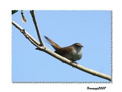 barcelona birds aves nightingale rossinyol ocells lusciniamegarhynchos remolar deltallobregat ruiseñor