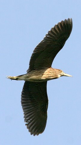 Pond Heron in Flight, Madivala Lake, 11 May 07