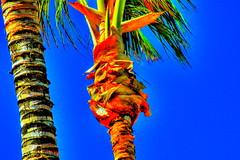 Wealth in contrast (Macgidtosh) Tags: blue tree yellow contrast nikon d70 nikond70 rich palm gelb burn palmtree blau kontrast hdr reich wealth brennend reichtum 2x3xp