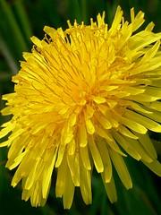 Draycote Meadow 29042007-057 (Walwyn) Tags: plants weeds dandelion wildflowers taraxacumofficinale walwyn draycotemeadows
