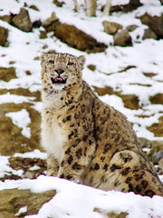 Snow leopard in the snow (Tambako the Jaguar) Tags: wild snow cute tongue cat zoo schweiz switzerland big feline funny zurich kitty fluffy bigcat zrich wildcat snowleopard felid panthera schneeleopard snowkitty uncia zoozrich loparddesneiges panthredesneiges