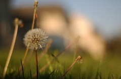 dandy (Adam FLiK) Tags: flower dead 50mm weed pretty dandelion nikkor f18 flikproductionscom flikproductions adamflikkema