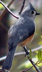 titmouse in tree 05-05-07_07_enh_300_olym (CapeCodAlan) Tags: birdseed titmouse ebirdseed capecodalan