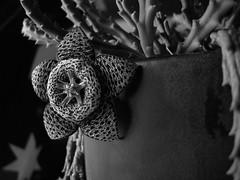 Stapelia in B&W ()x(Nato)x() Tags: cactus flower macro weird nikon australia coolpix p5000