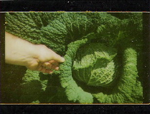 meet giant cabbage