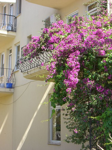 Bougainvillea cascading over a balcony