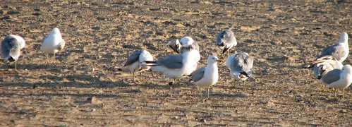 seagulls-2