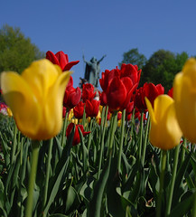 In the distance (wdthem) Tags: tulips albanyny tulipfestival