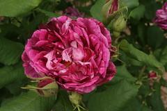 Damask Rose, Malmaison