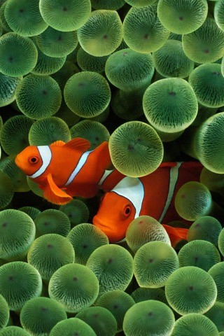 The clown fish