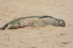 Relaxing (jessca12) Tags: kauai monkseal