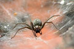 Spider (SpUtNik 23 -RUR und MKZ) Tags: macro canon photography eos spider belgium belgique 350 hainaut henegouwen souvret