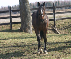 Dia Anglic Joly (ecuriesdiabolo) Tags: horse cheval chevaux poulain pouliche