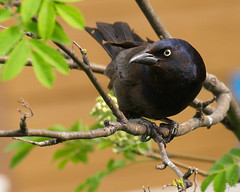 Common Grackle / Quiscale bronzé - by Eric Bégin