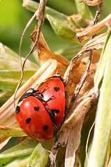 FIMG_1673 (Alfred Koppel) Tags: ladybird insekt marienkäfer abigfave ysplix