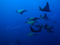 Mobula Rays: 48 of them in formation... what a sight!