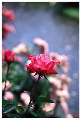 Rose 070520 #18