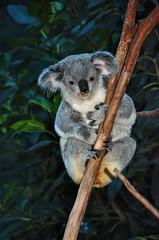 Koala - Blinky Bill ? (Earlette) Tags: bear cute animal newcastle nikon australia koala nsw lambton blackbutt d80 earlette