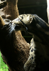 clouded leopard in profile