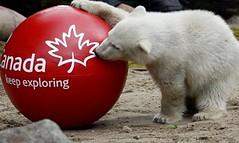 polar bear3 (*Kokoro*) Tags: trang gau