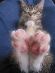 penny's paws (*lalalaurie) Tags: kitty committee tacomawa bitty itty fosterkittens 400cc splendiferous cc800 cc700 cc1000 cc600 cat1000 kittysuperstar cc5000 bestofcats impressedbeauty cat5000 kittyschoice 50faves50comments500views 75faves75comments750views 100faves100comments1000views wowiekazowie diamondclassphotographer lmaoani