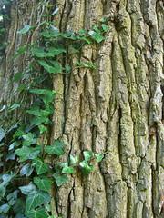 Ivy creeping